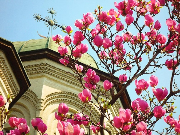 magnolii-man-radu-voda_w1000_h750_q100