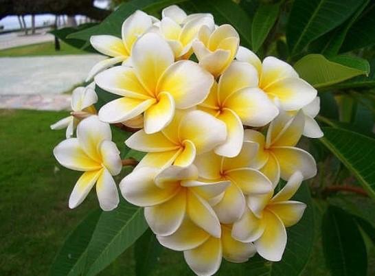 50-font-b-seeds-b-font-home-garden-frangipani-font-b-plumeria-b-font-rubra-lei